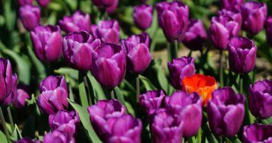 700 tysięcy kwiatów zakwitnie w Warszawie