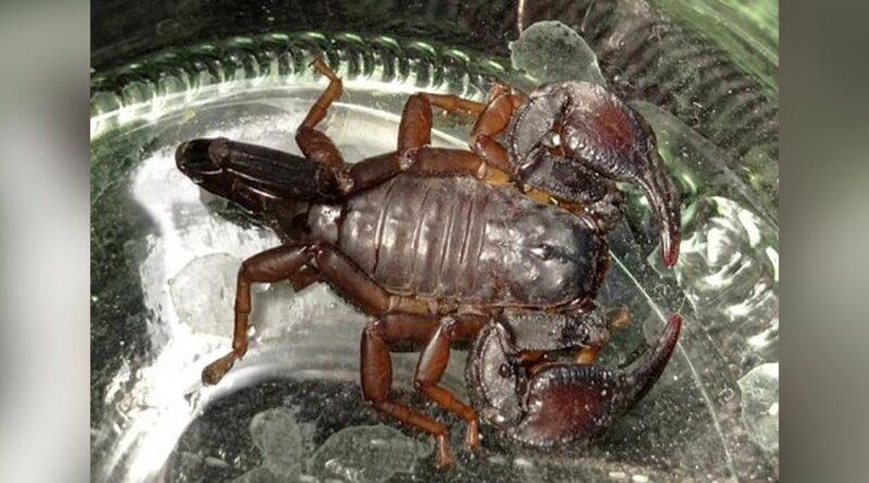 Znaleziono skorpiona, który mieszkał w jednym z warszawskich domów.